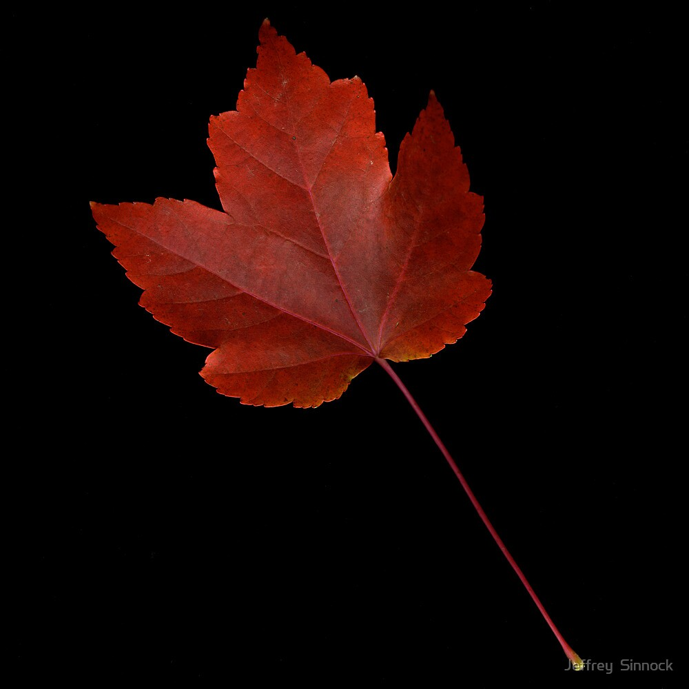 Maple Leaf by Jeffrey  Sinnock