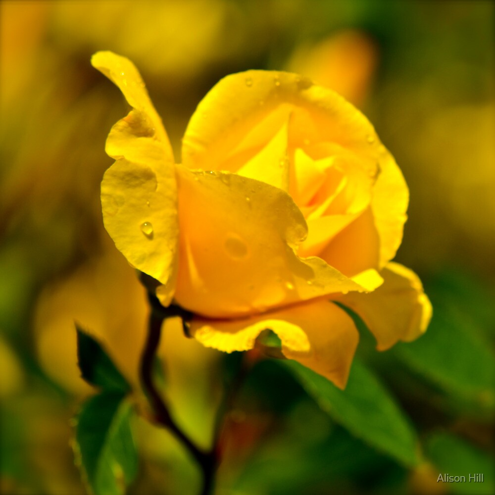 Golden Rose by Alison Hill