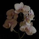 Orchid branch by Penny Fawver