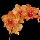 Yellow with red veining orchid by Penny Rinker