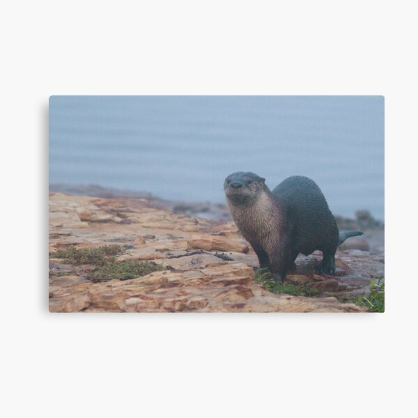 Otter on a rocky shore Canvas Print