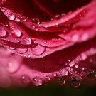Raindrops on Roses by RoystonVasey