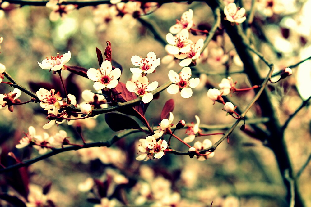 Cherry Blossoms  by Carly  Stine