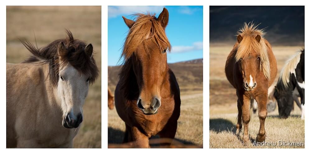 Icelandic Horses by Andrew Dickman