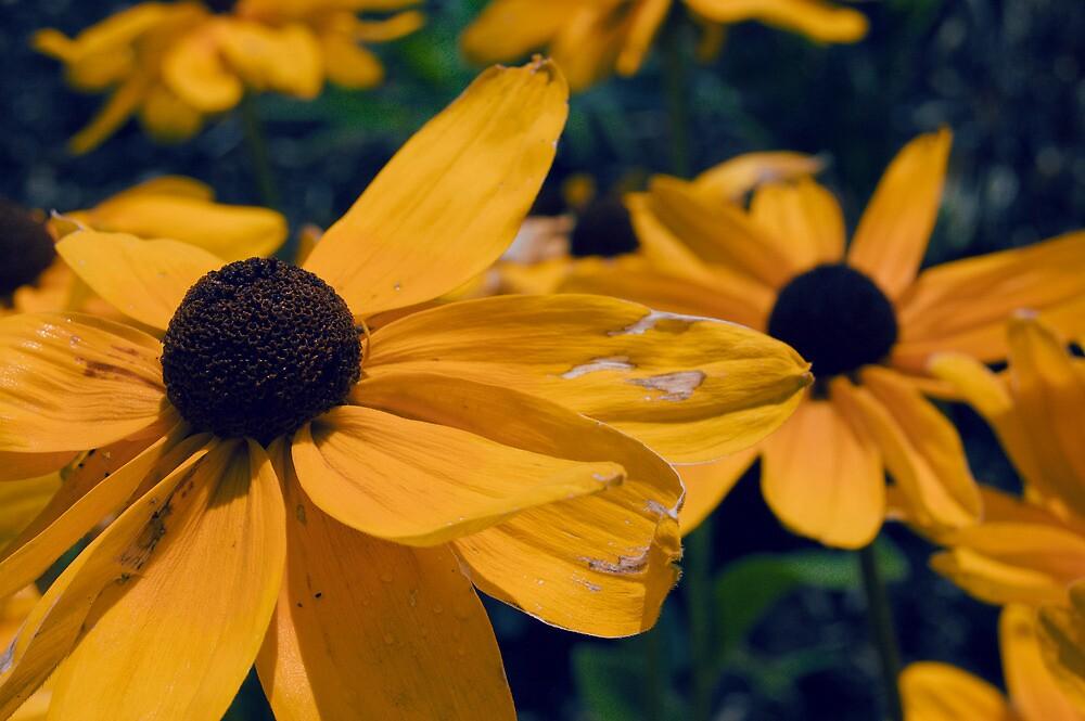 Black Eyed Susan Flowers by Ian MacQueen