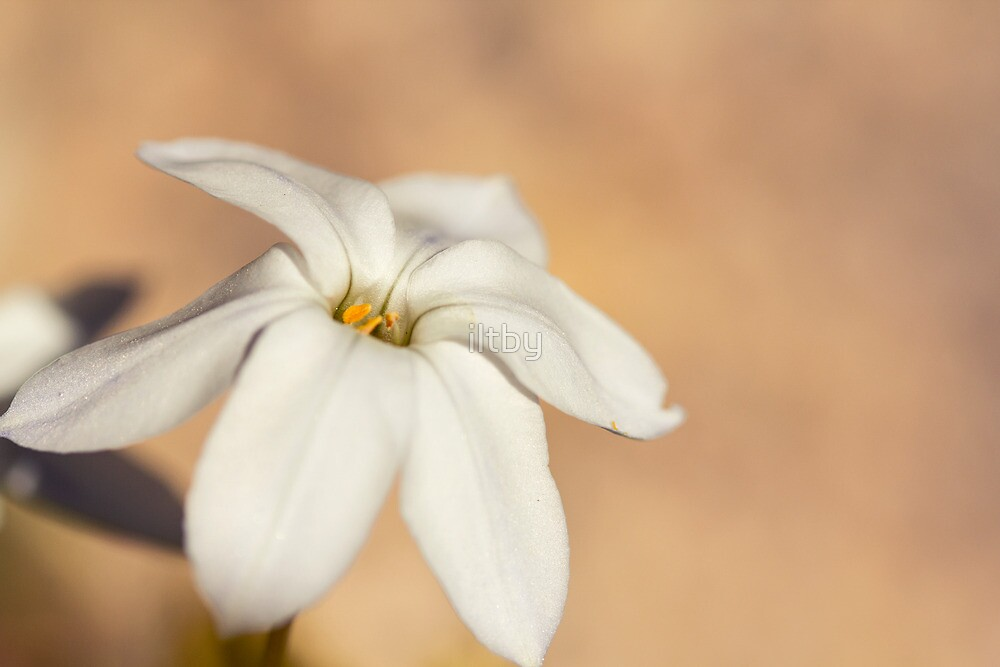 Star Of The Garden II by iltby