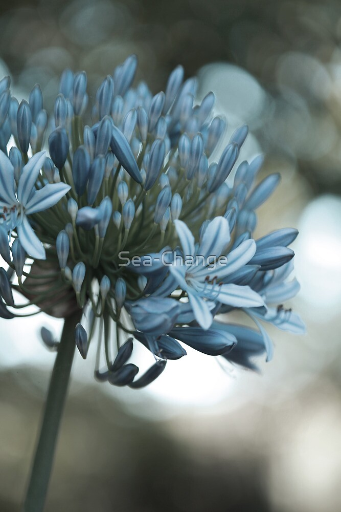 Vintage Agapanthus by Sea-Change