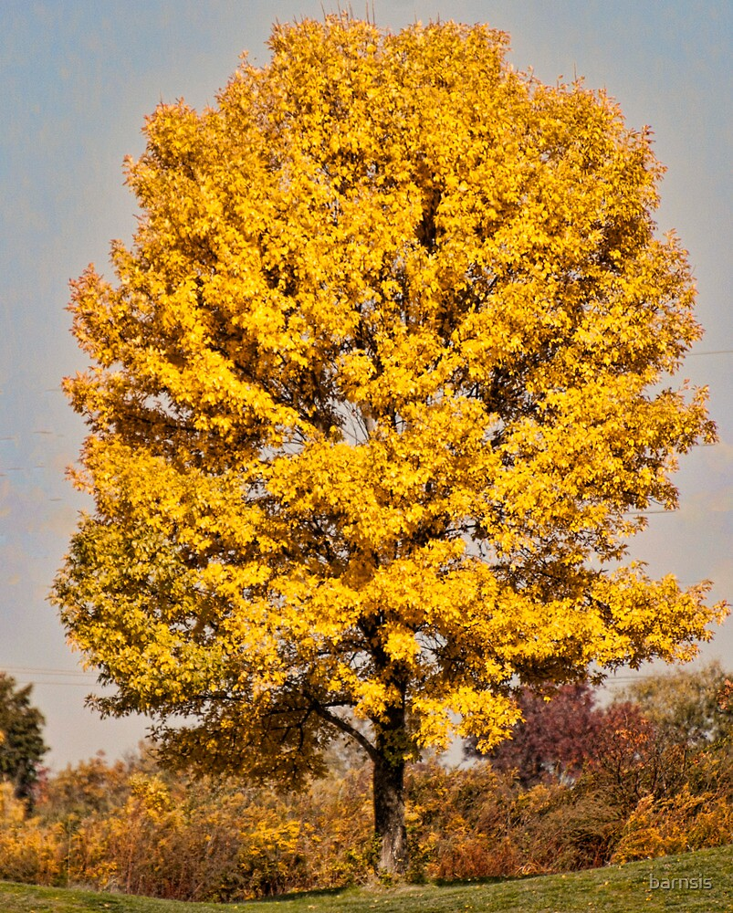 American Maple Tree by barnsis