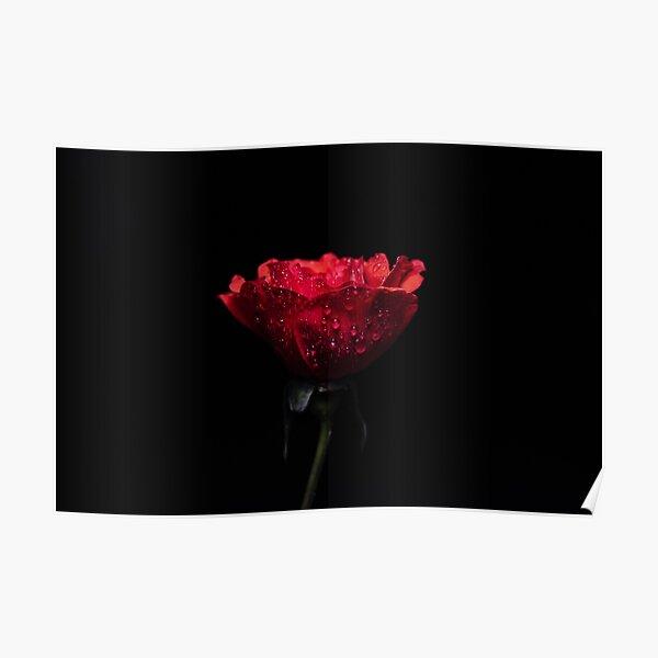 red rose on black background Poster
