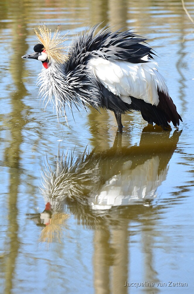 Kroonkraanvogel / Grey Crowned Crane having a bath by Jacqueline van Zetten