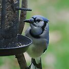 Hungry Blue Jay by Penny Fawver