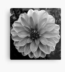 Black (and White) Dahlia Metal Print