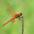 Red Dragonfly by ©Dawne M. Dunton