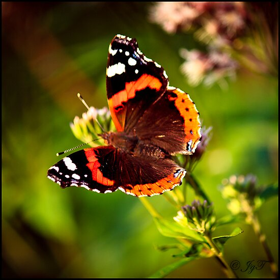 Butterfly on a Flower by johnjgt