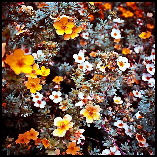 Small Flowers in Orange & White by johnjgt