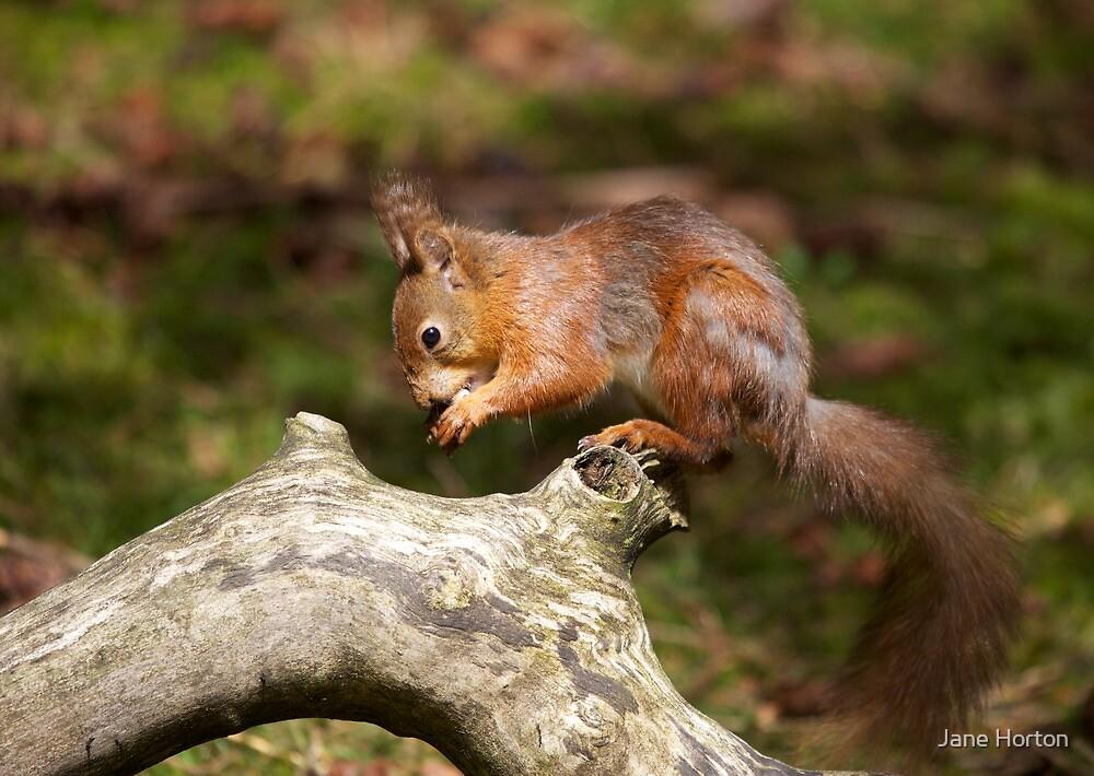Squirrel by Jane Horton