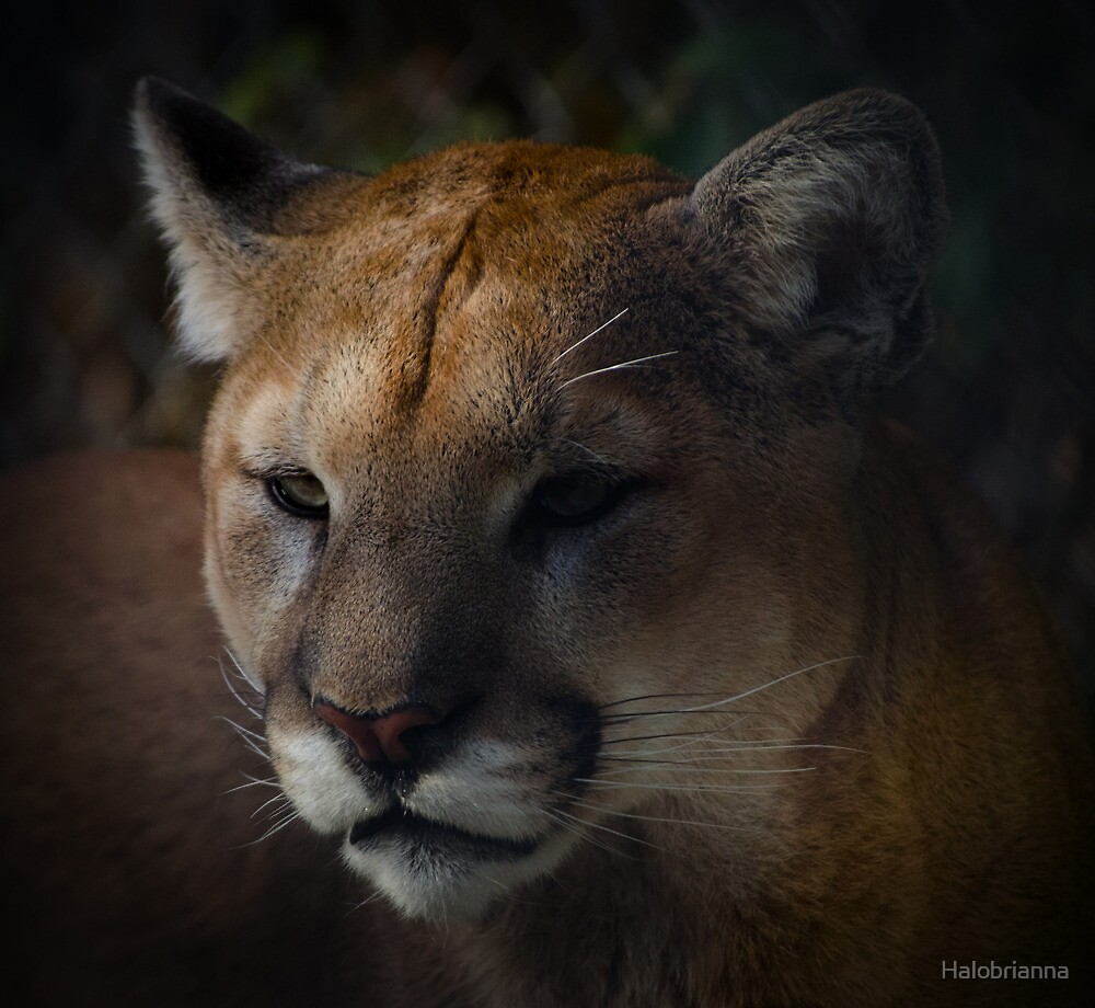 Cougar by Halobrianna
