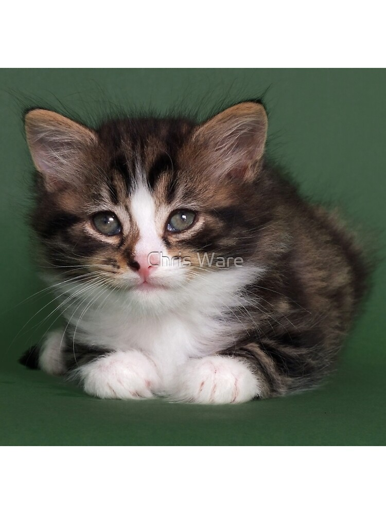 Very cute long hair tabby kitten by CHRISTOPHER WARE