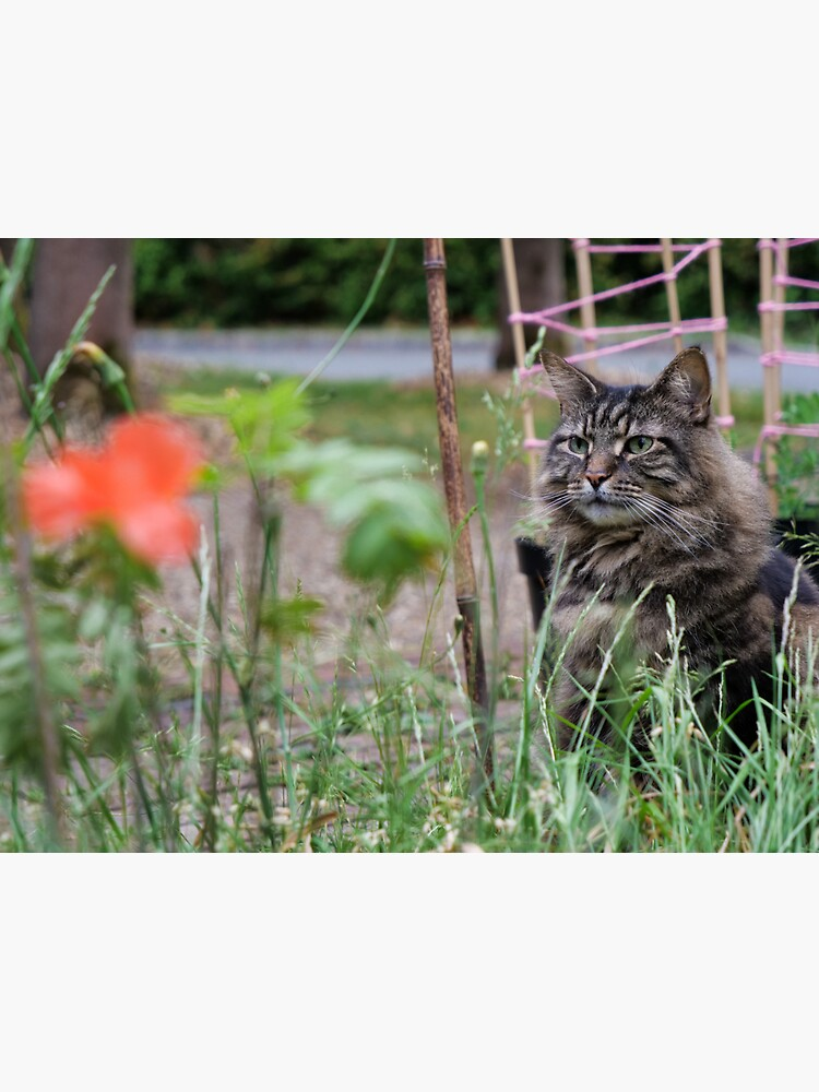 Grey tabby cat in summer looking at the poppy flower with great interest. by santoshputhran