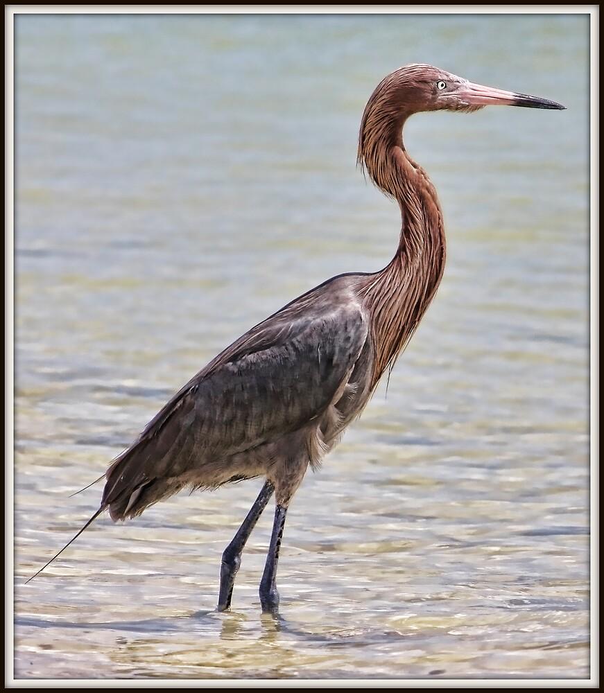 Reddish Egret by Mikell Herrick