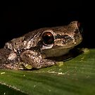 Bleating Tree Frog by D Byrne
