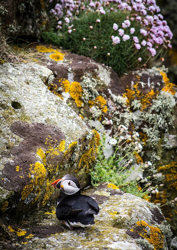 Puffins (III), Lunga Island, Scotland by JourneyPhotos