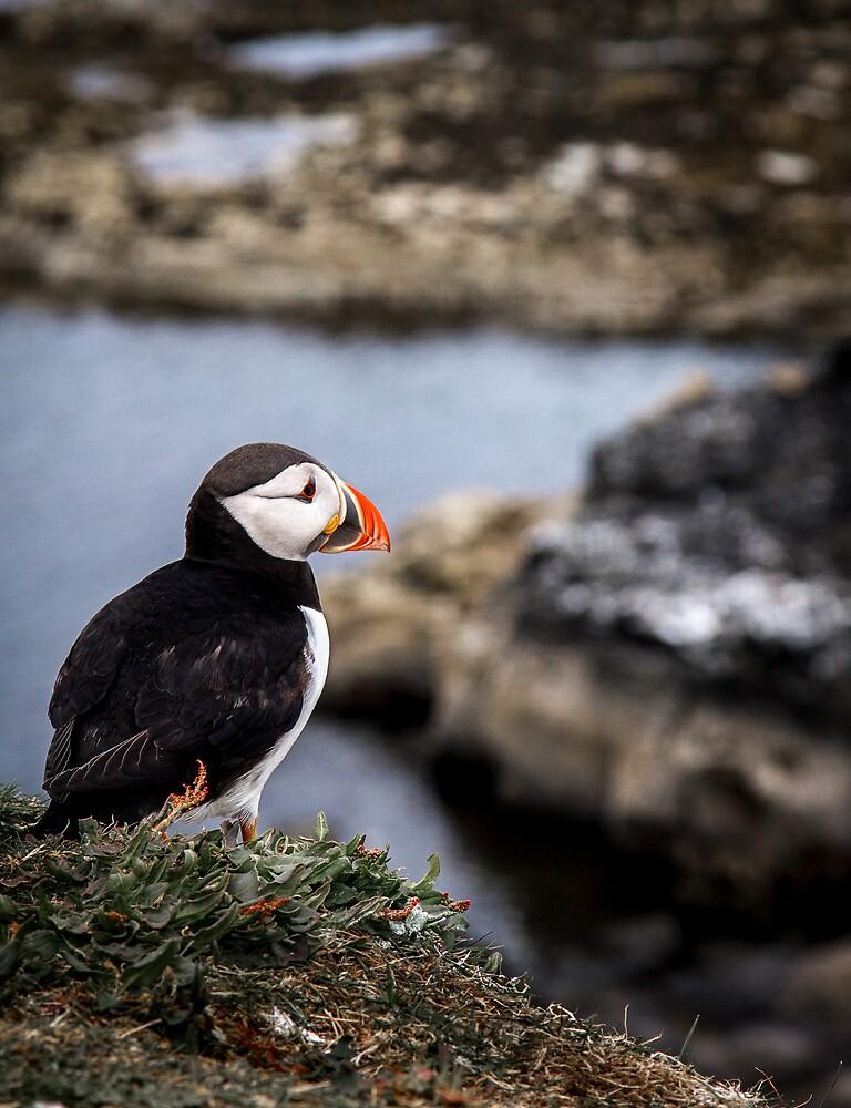 Puffins (XII), Lunga Island, Scotland by JourneyPhotos