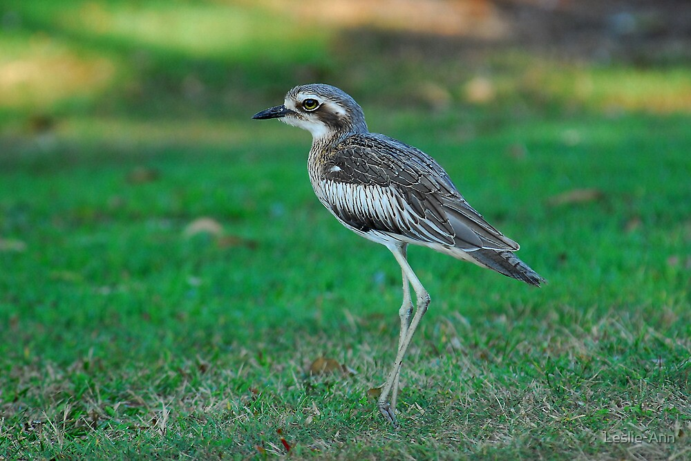 Bush-Stone Curlew by Leslie-Ann