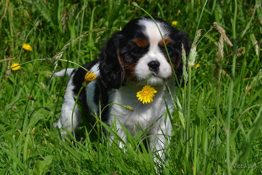 Cavalier King Charles Puppy eight weeks by Victoriarj