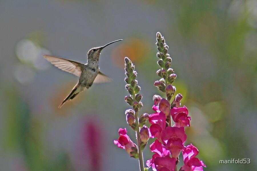 Hummingbird by manifold53
