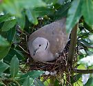 Collared Dove by Nigel Bangert