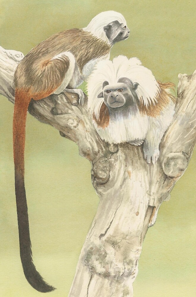 Cotton Top Tamarins by IanB