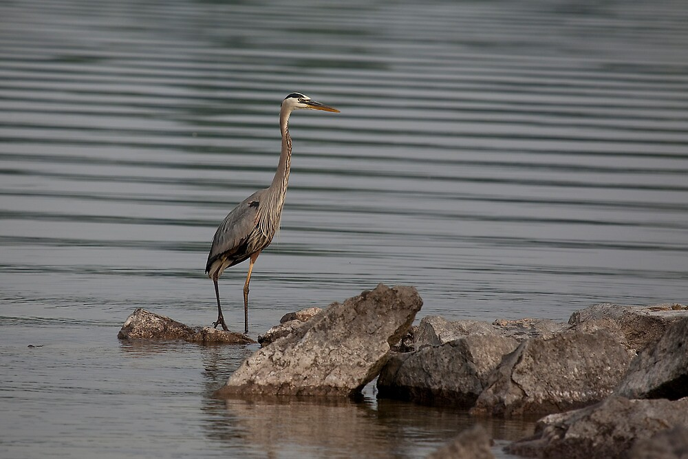 Great Blue Heron by Eunice Gibb