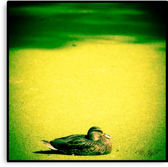 The lonely Duck by johnjgt