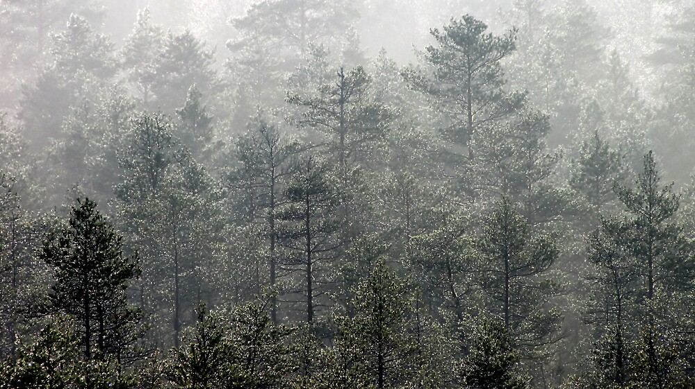 4.11.2012: Wet Pine Forest I by Petri Volanen
