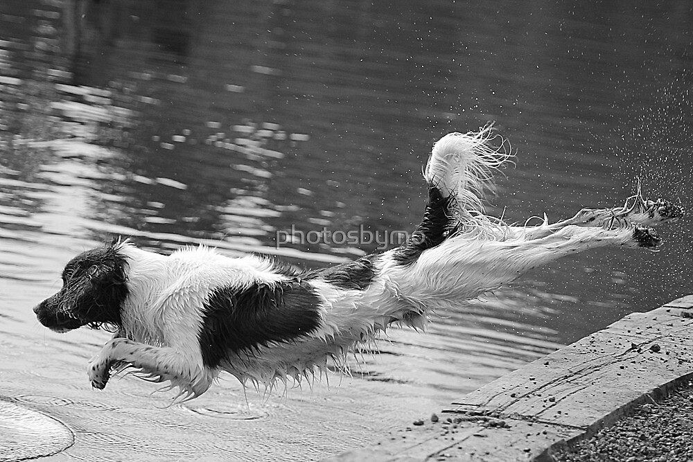 The Diving Spaniel by photosbymo