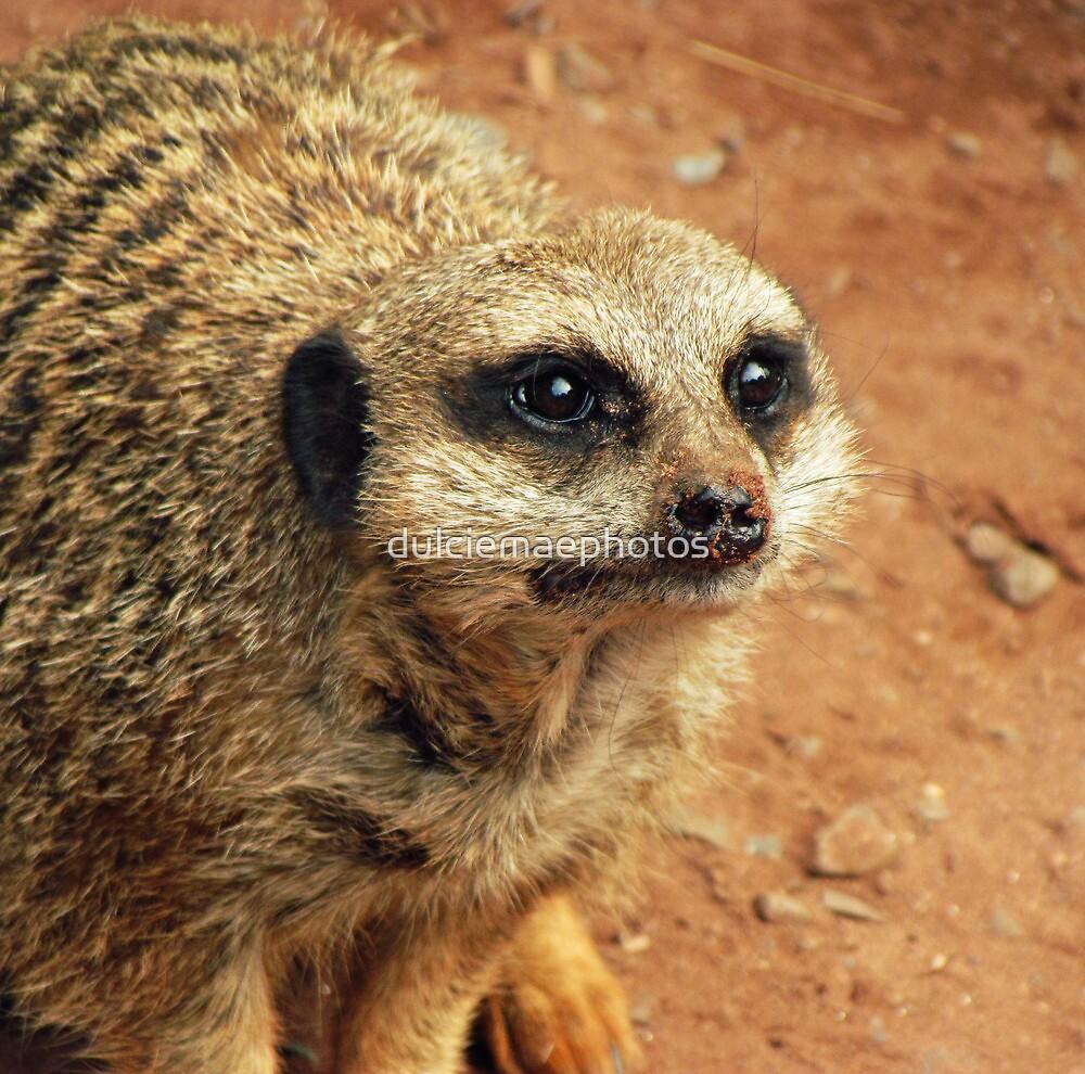 Inquisitive Meerkat by dulciemaephotos