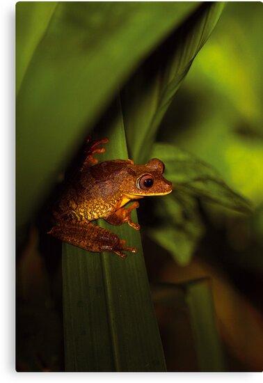 Imbabura Treefrog by Sylwester Zacheja