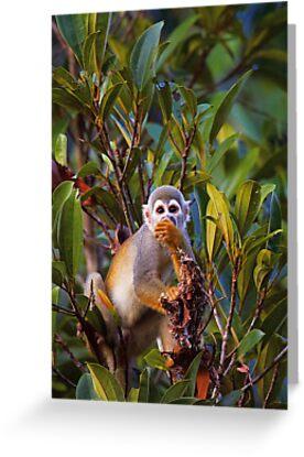 Ecuadorian Squirrel Monkey by Sylwester Zacheja