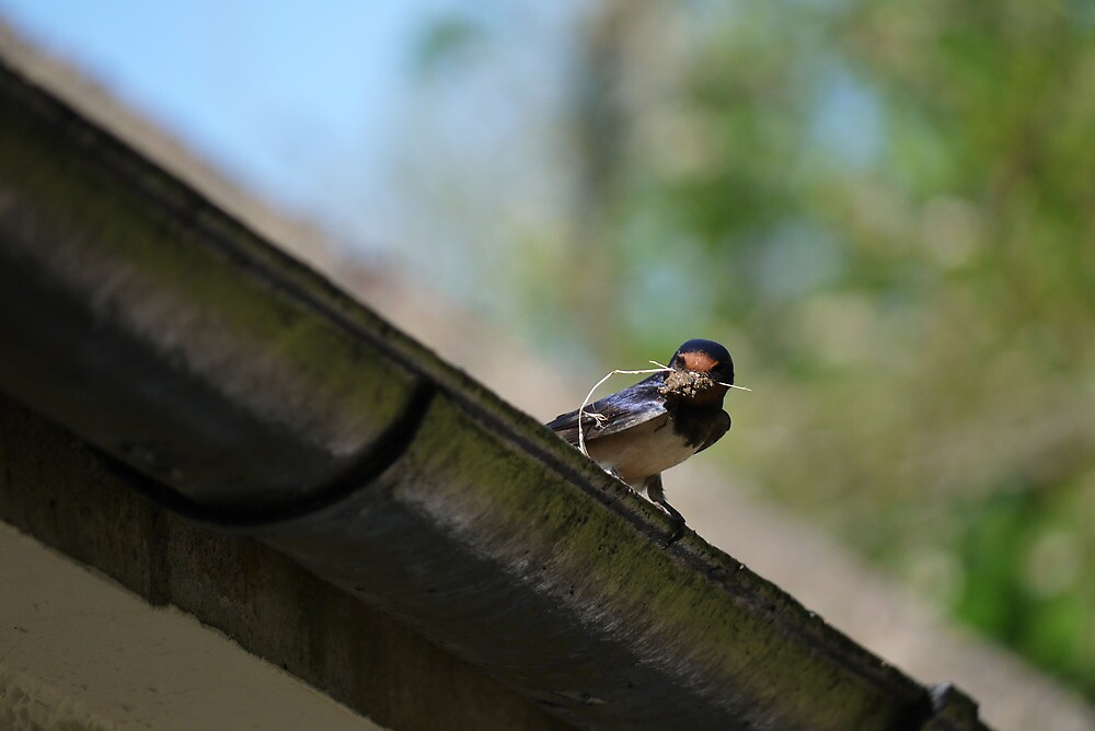 Swallow nesting by kalwhite