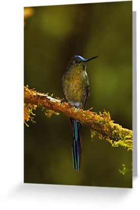 Hummingbird 3 by Sylwester Zacheja