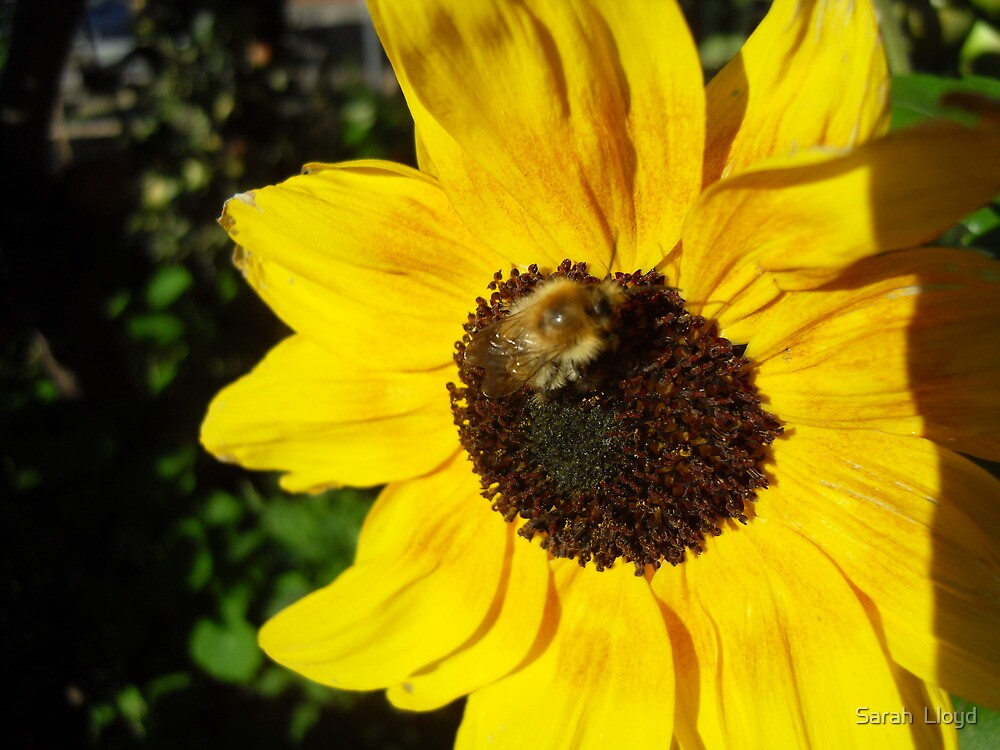 Bumble bee on a Sunflower  by Sarah  Lloyd