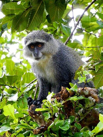 Grey Monkey in the Rain | Zanzibar, Tanzania by rubbish-art