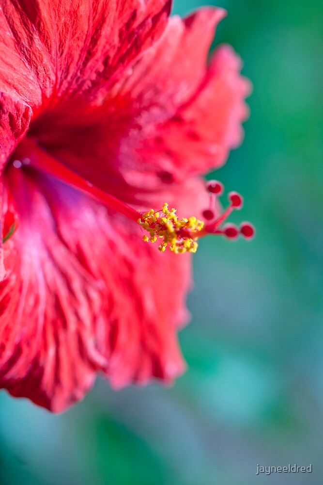 Bright Red Hibiscus In Repose by jayneeldred
