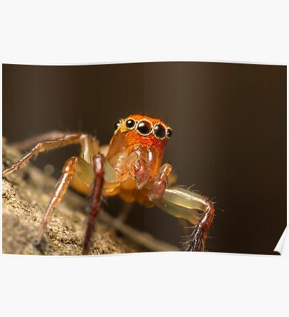 (Prostheclina pallida) Male Jumping Spider Poster