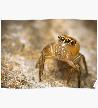 (Prostheclina pallida) female Jumping Spider Poster