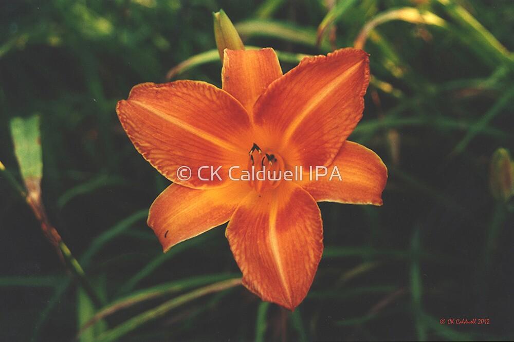 Backyard Lily by © CK Caldwell IPA