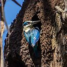Kingfisher in the old gum tree by Doug Cliff