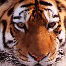 Amur Tiger by shutterbug2010