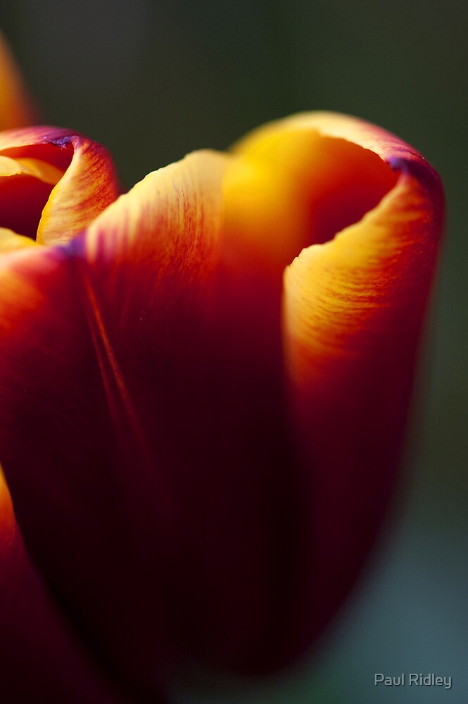 Tulip by Paul Ridley